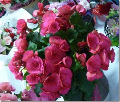 お母さんの日に花鉢を!リーガースベゴニアの植木鉢は大盛りよ