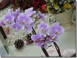 サクランの鉢植えを窓辺にどう?桜を思わせる姿に心が暖まるよ