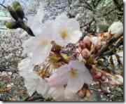 桜の花ドアップ