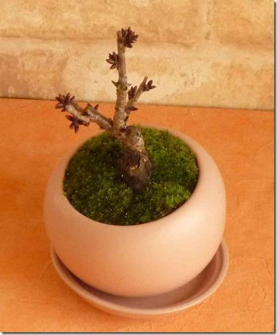 旭山桜が我が家に届いた!膨らみかけたつぼみを眺めながら春を待つ