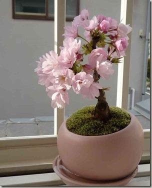 テーブル桜鉢植え