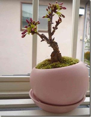 卓上桜植木