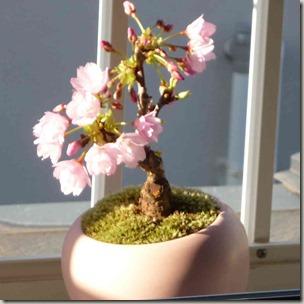 テーブル桜の鉢植え