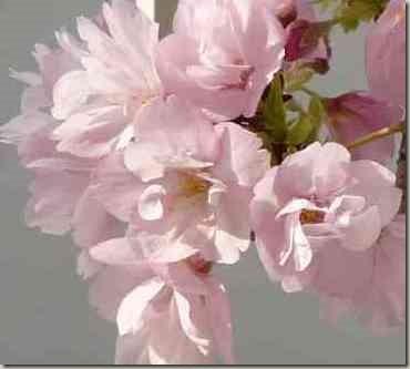 テーブル用桜の鉢植え