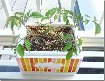 トマト発芽