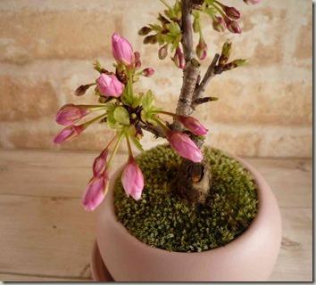 盆栽春待ち桜のつぼみの状態