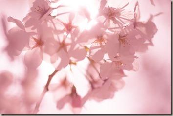 ピンクの背景に桜の花