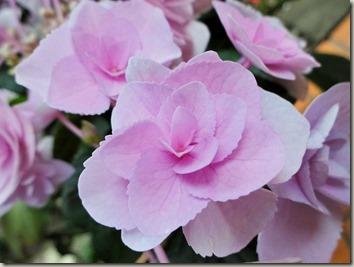 珍しいあじさいの鉢植えで、小さく華やかに楽しめる品種を調べた