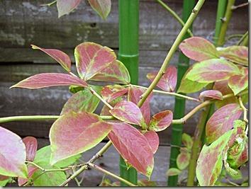 ブルーベリーの紅葉初期の葉