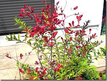 紅葉したブルーベリーの葉