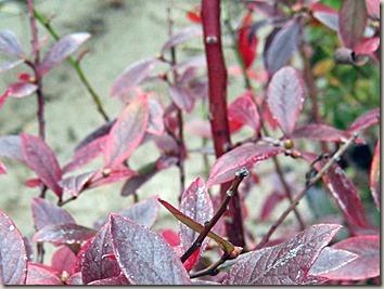 紅葉したブルーベリーの茎