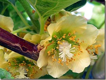 キウイの白い花