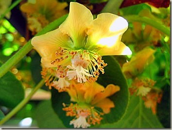 キウイの黄色い花