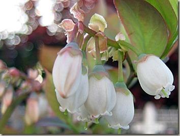 ブルーベリーの花アップ