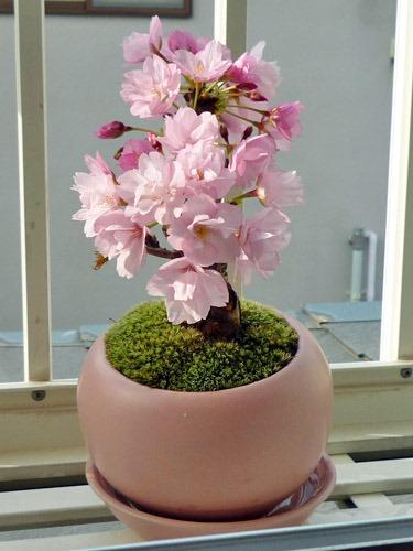 桜を植え替え春待ち桜