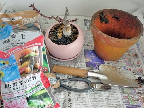 旭山桜の盆栽の植え替えをしてみた
