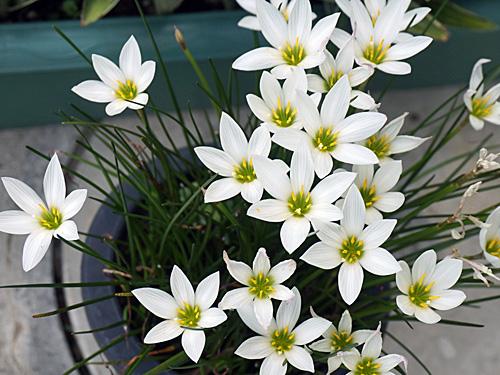 白い球根の花