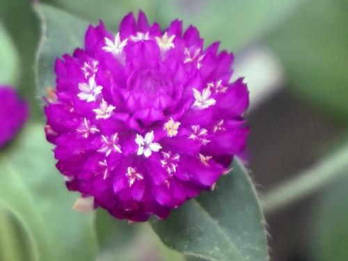 ローズネオンの花をアップ