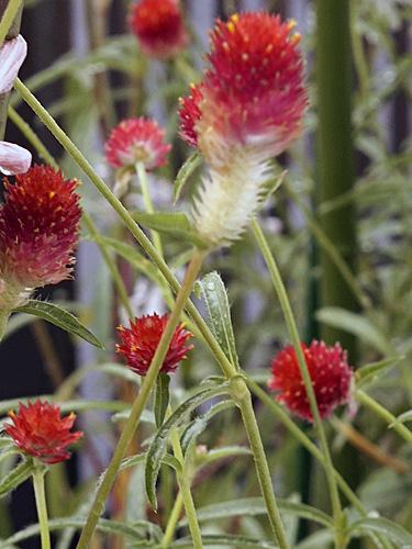 ストロベリーフィールドの花