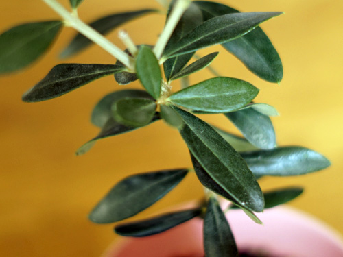 フラントイオの葉