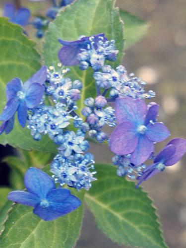 藍姫のアップ
