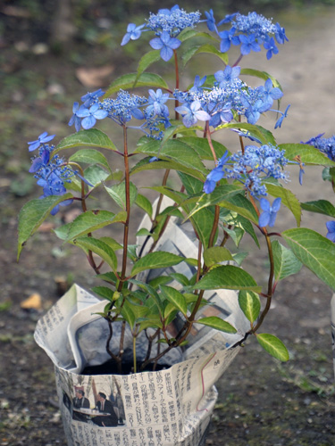 盆栽としてもたのしめそうな枝ぶりの藍姫