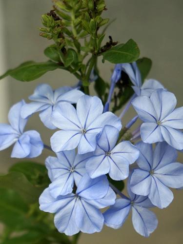 るりまつりの花びら