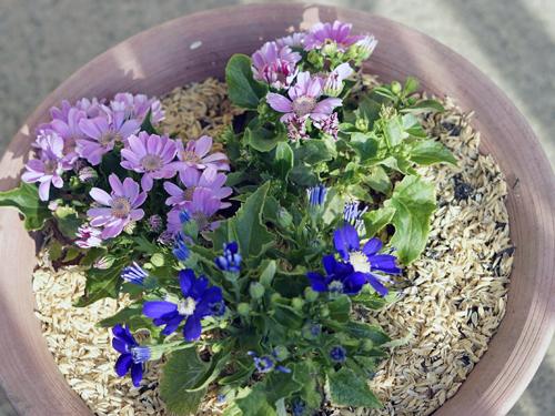 青、ピンク、3株寄せ植えのサイネリア