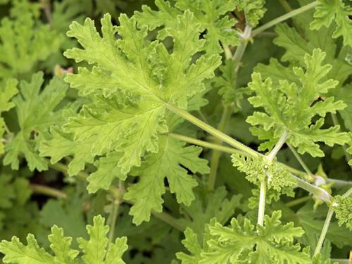 ギザギザのハーブゼラニュームの葉