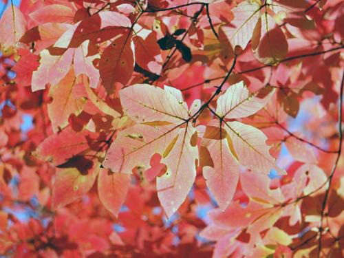 メグスリの木の紅葉