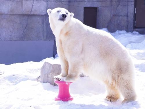 北極クマの曲芸