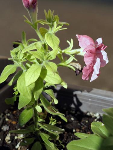 1本の茎に花を縦に付け続けるペチュニア