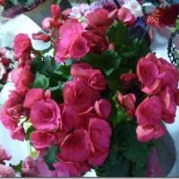 母の日鉢植え
